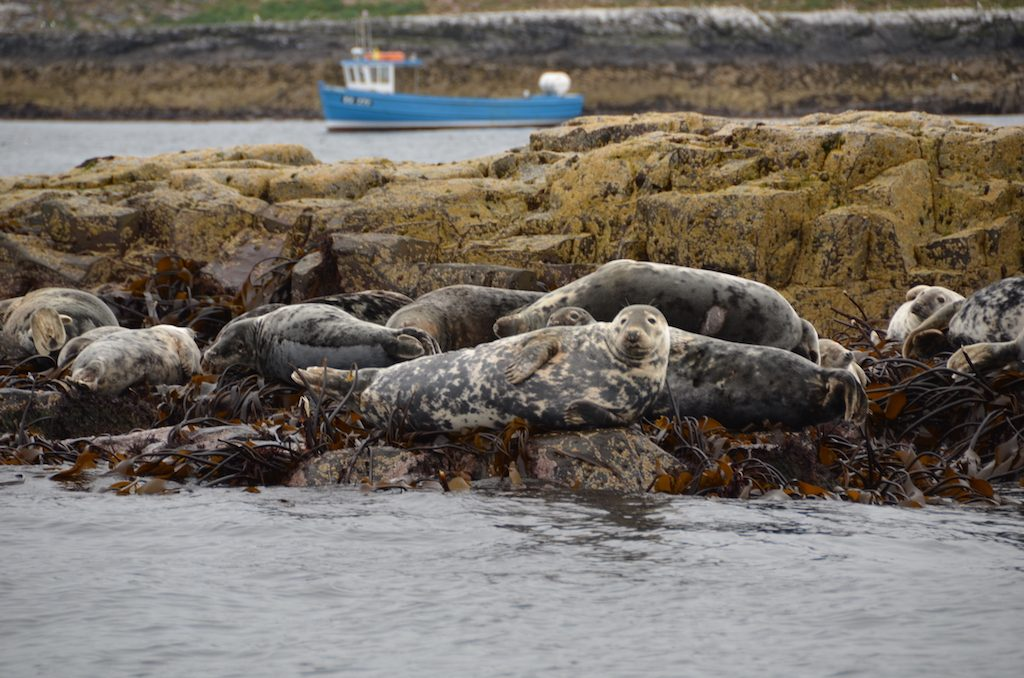 Seals off the Farne Islands